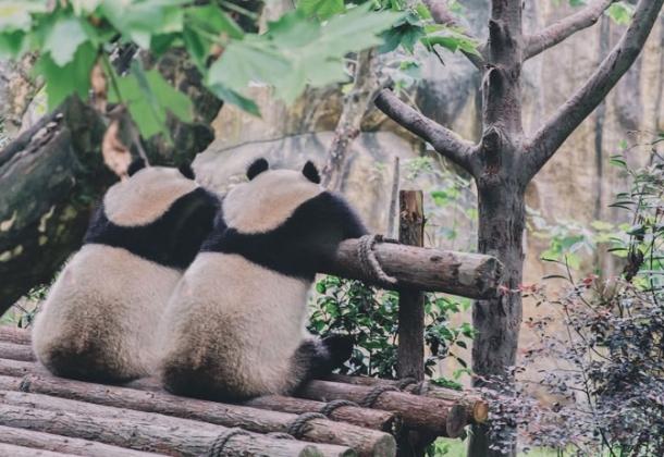 Ying-wu-pandas-bearramelk
